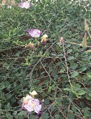 צלף קוצני (Yonat Sharon) Tags: plants garden capparis caper