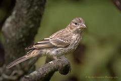 House Finch (Kevin James54) Tags: housefinch nikond500 tamron150600mm animals avian bird carpodacusmexicanus finch kevingianniniphotocom