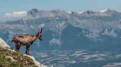 Etagne, massif du Vercors, France (tounesse) Tags: d90 vercors france étagne bouquetin ibex