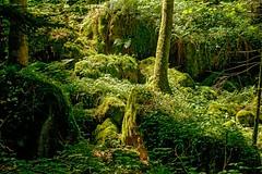 jungle (sigiha1953) Tags: fuji fujifilm fujixt1 fujifilmxt1 xt1 wald forest jungle natur nature fujixf55200mmf3548rlmois 2017