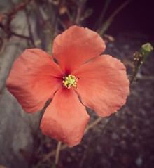 Beauty found growing out of the road (MadeleineVanWijkPhotography) Tags: softcolours snapseedediting flower closeup iphone7