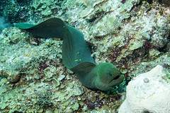 Relaxing in the open (agasfer) Tags: 2017 mexico akumal halfmoonbay scuba diving underwater marine life canon g1xmk2 intova iss2000 fish moray eel