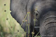 Young Elephant (Nicholas Ferrary) Tags: nicholasferrary nature nikon nikond800e nikon200400mmvr nikond810 d800e d810 200400mm vr2 nikon200400vr2 animals africa africanwildlife safari africansafari mammals mammallife life wildlife wildlifephotography elephant nationalpark tarangire tarangirenationalpark portrait