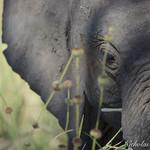 Young Elephant thumbnail
