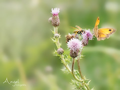 sharing (Wilma van Oorschot) Tags: wilmavanoorschot angelphotography olympusem5 olympusomde5 olympus panasoniclumixgxvario35100mmf28ii butterfly papillon nature outdoor wasp maniolajurtina meadowbrown flowerswithinsects insects