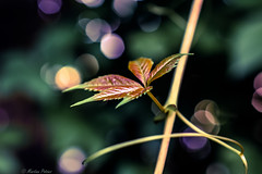 Have a beautiful weekend!!😄 (martinap.1) Tags: natur nature nikond3300 nikon nikon40mmmacro green bokeh wilderwein pflanze plant grün