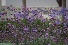 The Getty (Robert Borden) Tags: getty thegetty flowers violet purple museum art garden nature losangeles la socal california canon canonrebel canonphotos