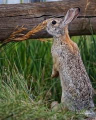 Cotton-tail (dcstep) Tags: englewood colorado unitedstates us n7a9091dxo cherrycreekstatepark canon5dmkiv ef500mmf4lisii allrightsreserved copyright2017davidcstephens dxoopticspro114 rabbit bunny cottontailrabbit upright standing
