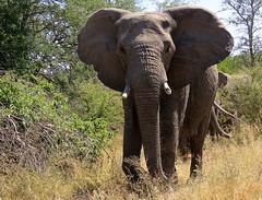Afrika Olifant / African elephant (Bruwer Burger.) Tags: afrika olifant african elephant