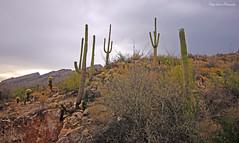 Sabino Canyon (Paige Larissa Photography) Tags: nature landscape desert arizona roadtrip photography like comment follow deserts dirt cactus cacti saguaros saguaro az plants monsoon