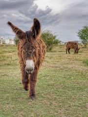 Ânes du Poitou (Yo Gui) Tags: poil long animal poitou âne