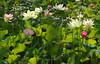 Living and Dying Lotus in Echo Park (Robb Wilson) Tags: echopark losangeles lotusfestival lotusflowers pinklotus whitelotus largegreenleaves