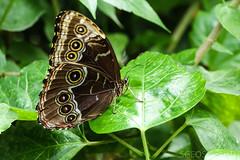20170715-IMG_7280 (SGEOS@EARTH) Tags: vlindertuin vlinder vlinders butterfly butterflies vlindersaandevliet observer colorfull insects nectar indoor nature wildlife canon macro 100mm