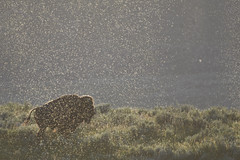 Bison (carolinaaf14) Tags: bison insects yellowstone abstract nature haydenvalley backlit