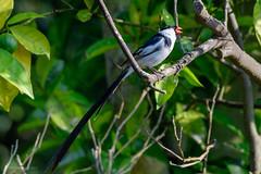 Pin-Tailed Whydah, Male (halladaybill) Tags: backyard coronadelmar pintailedwhydah newportbeach california unitedstates us invasivespecies orangecounty nikond500 nikkor200500zoom