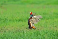 環頸雉(雉雞) Common Pheasant (UG Tsai) Tags: birds 鳥 動物