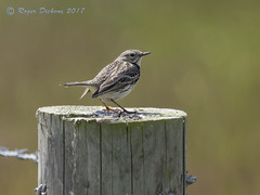 Meadow pipit 02 (Roger Dickens) Tags: meadowpipit anthuspratensis donnanook lincolnshire pentax300mm 17xconverter pentaxk3