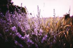 (•:*´¨`*:•.☆Diℓeyℓα ☆•:*´¨`*:•) Tags: flowers tihany nature hungary dof nikon lookslikefilm lavender colourful holiday naturelove