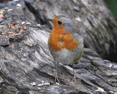 Robin (Poppy1385) Tags: robin