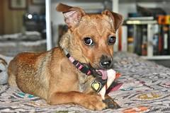 ~~ Je vous présente Lily...~~ (Joélisa) Tags: lilly chien dog juillet2017