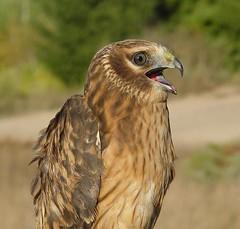 Northern Harrier (helmutnc) Tags: hennysanimals hg specanimal sweetfreedom
