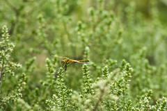 170720-dragonfly.jpg (r.nial.bradshaw) Tags: 80400mm456vr nikon d5 nikonsuperflag someonesoldtheirsoultodevelopthiscamera attributionlicense creativecommons image photo probono probonopublico rnialbradshaw royaltyfree stockphoto stockphotography