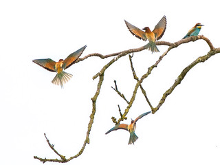 Bee Eaters........