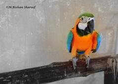 The Parrot (M.RISHAN SHAREEF) Tags: nature native bird blue black birds culture yellow enjoy forest green orange pets qatar souq wildlife