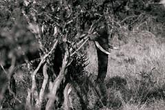 Shadow in the forest (knipslog.de) Tags: tusk elephant forest botswana botsuana safari adventure wildlife wild animals selfdrivesafari