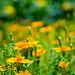 Fleurs du jardin (Logjrom) Tags: fleurs flowers nikon tableau bokeh colors nikond5300 nikon1685mm