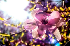 Hide-and-seek (Natalia Medd) Tags: magnolia color colourfull pink flower tree bloom blossom sky spring summer nuture plant
