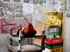 Rooster on street in Manila, Philippines (phuong.sg@gmail.com) Tags: agriculture alive animal background beautiful bird black breed calm chick chicken cock cockerel color colourful corridors domestic dominant economy elegant farm farming feather fowl free keeping live livestock manila natural nature outdoor pets philippines poultry range real red road rooster rural single stand standing thailand wild