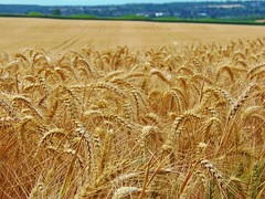 "A Day in Canterbury @ 22 July 2017 - Barley Field (Kam. Hong_Leung) Tags: ""beatriceleung"" ""kamhongleung"" ""leungkamhong"" 'johnpike' 'deborahpike' 'katherinepike' ""kammypike"" canterbury kent wood woodland tree flora fauna wildlife ""oasthouse"" oak barley field conservation ecology environment nature plant goose bird apple orchard electricitypylon barn cloud rain walker rambler 'wildflower' 'theguesthouse' rumi 'jalalaldinrumi' poet muslim islam mindfulness meditation 'mentalhealth' depression countryside"