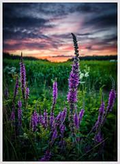 purple (juhwie.foto - PROJECT: LEIDENSCHAFT-LICH-T) Tags: sky flower colours nature landscape pentax k3ii 1530 franken franconia clouds pentaxart