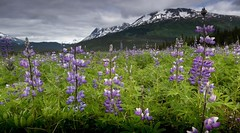Lupines in the meadow #Alaska #travel #flowers #meadows #alpine #mountains #wildflowers #purple #summer #kenai (Andy@AK) Tags: alaska travel flowers meadows alpine mountains wildflowers purple summer kenai