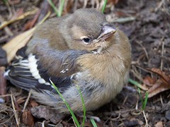 Fledgling Chaffinch (ERIK THE CAT Struggling to keep up) Tags: birds chicks staffordshire mayfield chaffinch