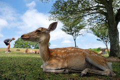 Deers and tourists (HarQ Photography) Tags: fujifilm fujifilmxseries xt2 xf1655mmf28rlmwr deer animal japan nara morning tourist