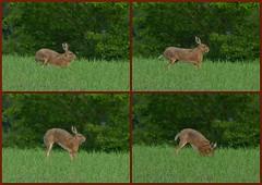 Bow and stretch (joeke pieters) Tags: 1340331 1340332 1340333 1340334 panasonicdmcfz150 hare haas buigenenstrekken bowandstretch wildlife collage ngc