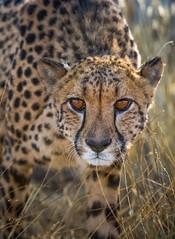 Close encounter - Namibia (lucien_photography) Tags: namibia namibie cheetah guépard felines close nature animal africa safari afrique wildlife eyes yellow orange portrait