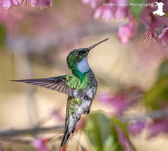 White-throated Hummingbird 2 (MartinJonesPhotgraphy) Tags: brazil landscapes nature birds neotropical rainforest scenery cherrytree blossom whitethroated hummingbird itororo