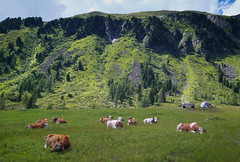 Alpine cows (stanislaff) Tags: samsung samsungnx1224mmf456 samsungnx30 nx30 nx1224 nature mountains mountain südtirol silkypix8 italy hiking valley