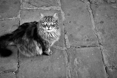 Ms. Emma (Milan Korenev) Tags: cat pet street stone cobblestone mono monochrome bnw shadows eyes gaze