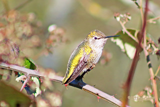 Anna's Hummingbird 16-0208-5451