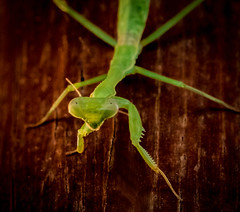 Praying Mantis  - Macro (Jeff Carnie Studios) Tags: flyinginsects insect insects prayingmantis mantis