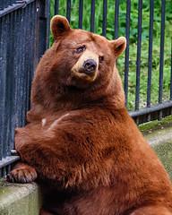 Black Bear (Rob Vigliotti) Tags: bearmountain blackbear bear unitedstates newyork