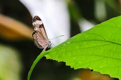 20170715-IMG_7334 (SGEOS@EARTH) Tags: vlindertuin vlinder vlinders butterfly butterflies vlindersaandevliet observer colorfull insects nectar indoor nature wildlife canon macro 100mm