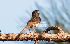 Kenny Miller Bachman's Sparrow