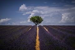 Lavendel (uschmidt2283) Tags: avignon blumen dörfer frankreich landschaften lavendel licht provence sonnenuntergänge wein