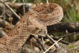 Western Diamondback Portrait