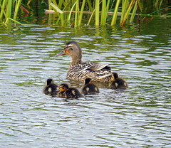 Mallard with ducklings (stuartcroy) Tags: orkney duckling duck ducks diving water harrayloch harray